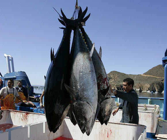 Pacific bluefin tuna, near Ensenada, Mexico. Researchers have shown that similar tuna carried radiation from Fukushima, Japan, to California in 2011.