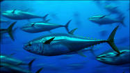 "Pacific bluefin tuna carried radioactivity from <a title=""Japan"" href=""http://www.latimes.com/topic/intl/japan-PLGEO000001.topic"">Japan</a>'s 2011 <a title=""Fukushima (Fukushima, Japan)"" href=""http://www.latimes.com/topic/intl/japan/fukushima-prefecture-%28japan%29/fukushima-%28fukushima-japan%29-PLGEO1001007014111648.topic"">Fukushima</a> Daiichi nuclear disaster all the way across the ocean to the shores of California, scientists reported Monday."