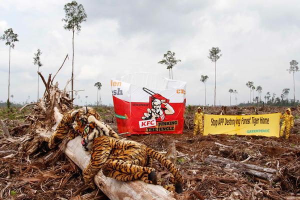 Greenpeace activists place a giant KFC packaging mock up in recently logged-over peatland forest area in the Pt. Ruas Utama Jaya concession area, a wood supplier to Asia Pulp Paper.
