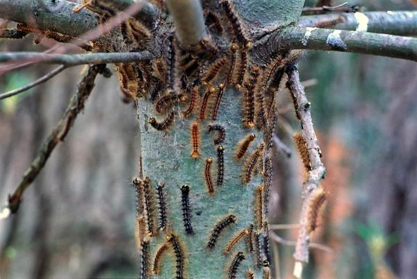 Forest tent caterpillars are at a low in the area after their peak in 2010.