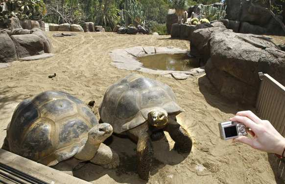 For all the attention it gets, the San Diego Zoo (2920 Zoo Drive, San Diego) boils down to about 3,700 animals on 100 acres -- not unlike certain college campuses. But instead of four years, you spend a full day, beginning at the 9 a.m. opening. One of the attractions you'll find is the Galapagos tortoise enclosure, where you'll find the zoo's oldest inhabitants.