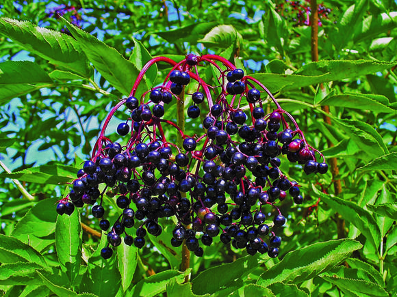 Birds love the fruit on elderberry, which is also used for making elderberry wine.