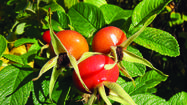 Rugosa roses bear beneficial, showy hips as fruits, too.