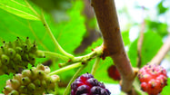 Mulberry fruits grow anywhere and everywhere.
