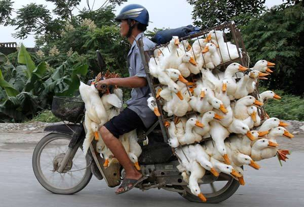 A man transports ducks on a motorcycle to a market in Nam Ha province, outside Hanoi in Vietnam.