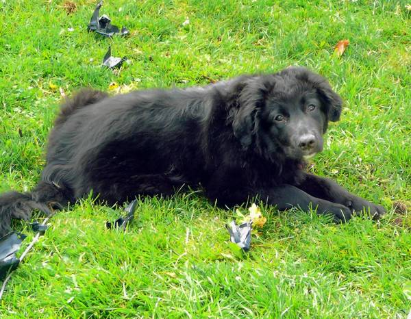 The Catasauqua owners of Bear, a border collie/Newfoundland mix, want him to stop nipping at clothes.