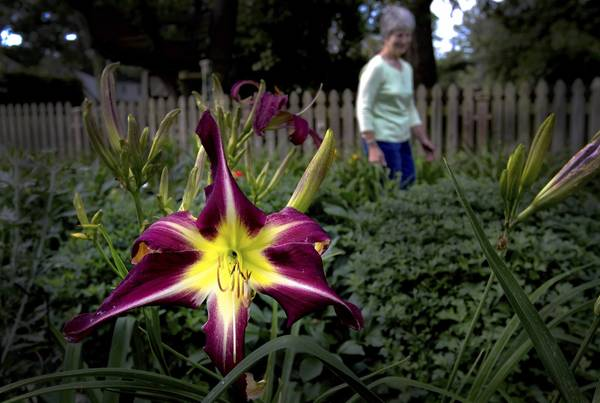 Peacock Madian daylily. Kathi passes rows of daylilies where they once parked cars in her back yard. Dark Red and Yellow daylily. Kathi Griffin, a member of the Tidewater Daylily Society, is a hobbyist daylily grower in the Hilton area of Newport News. We visit her garden to learn about the selection, use and care of daylilies and to promote the society's June 10 show