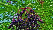 Berries are perhaps the most fragile of summer's pleasures--plan now for berries throughout the season! Fortunately, they are also very easy to grow, needing nothing more than, at most, annual pruning. <em>The 2012 Old Farmer's Almanac All-Seasons Garden Guide</em> offers some advice on which healthful berries are perfect for your backyard.