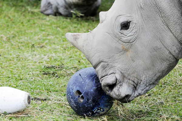 "A Southern White Rhino investigates a bowling ball and pins while ""bowling"" as a part of the Bowling for Rhinos awareness event and to raise money for the conservation of endangered rhinos around the world, at Lion Country Safari, in Loxahatchee."