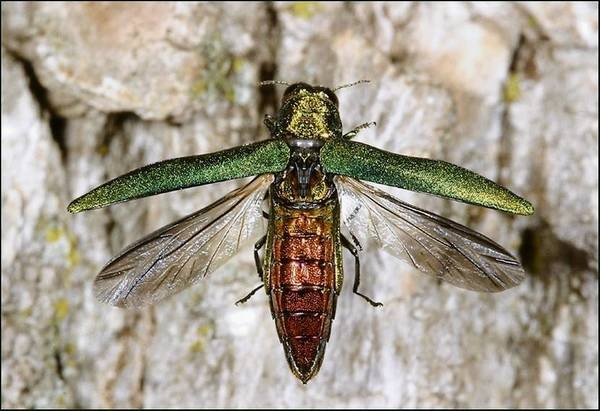 The city of Chicago considers 11,000 trees too infested to save from ash borers.