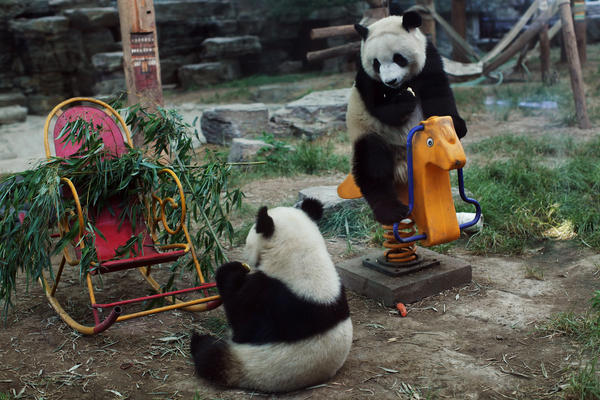A pair of giant pandas play in their enclosure at the Beijing Zoo on June 5, 2012 in Beijing, China. With an estimated 1,600 living in the wild, the endangered giant panda dwell in a few mountain ranges in central China.