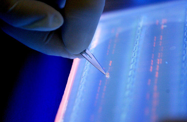 A lab technician cuts a DNA fragment under ultraviolet light.
