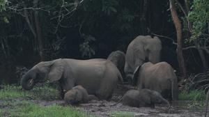Elephants Safe in Congo Park Amidst Slaughter in Surrounding Forests