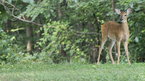 DCNR Forests, Parks Participate in Deer Management Assistance Program
