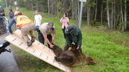 State Officials Shoot, Kill Brown Bear in South Anchorage