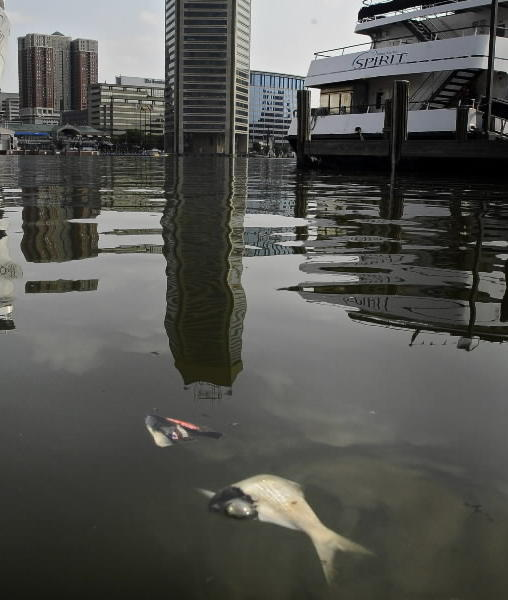 Dead fish float in Inner Harbor over Memorial Day weekend. The die-offs have continued this week, with an environmental group and government regulators sparring over whether a sewage spill has fouled the water.