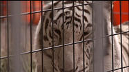A popular exhibit at Riverfest is causing some people to protest. White tigers are on display, and some people feel the exhibit is inhumane. A protest will be held Saturday afternoon against it.