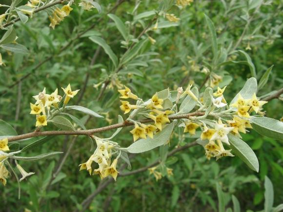 Russian olive is an invasive plant; because it suckers and spreads so aggressively, crowding out native plants.