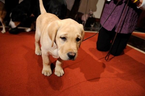 A Labrador retriever puppy (Getty Images)