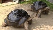 Giant tortoises divorce after 115 years together