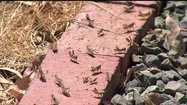 Swarms Of Grasshoppers Invade Rural Sacramento County
