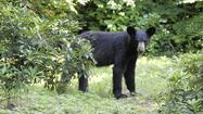 Bear appears to be headed north to Pa., DNR official says