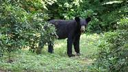 Roaming bears in suburbia not going away