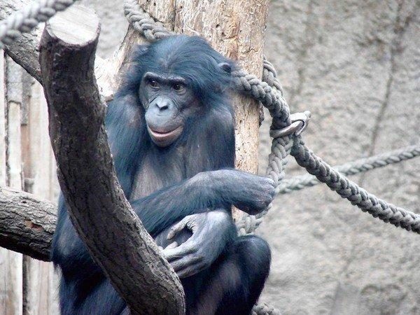 Ulindi, a female bonobo at the Leipzig Zoo in Germany, was used in the DNA mapping study.