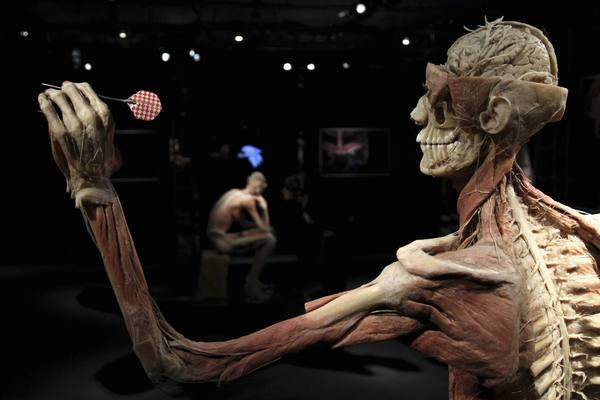 "Plastinated human bodies are seen during a media viewing for the exhibition ""The Human Body"" in Ostend, Belgium. The exhibition showcases dissected human body specimens that are preserved."