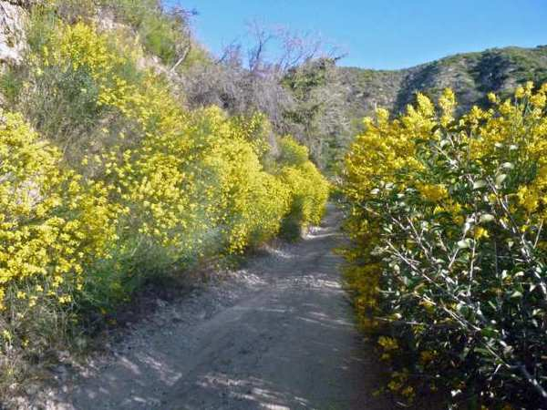 Large growths of Scotch broom line trails and fire roads just above La Canada in the Angeles National Forest. Writer Reg Green says that on weekdays the trails are nearly empty.