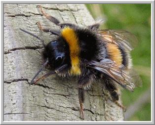 Bumble bees are important crop pollinators, much like honey bees.