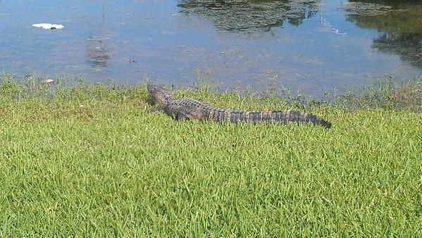 Gator spotted on a golf course in Miami-Dade County.