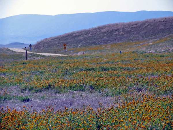 Wildflowers carpet Carrizo Plain.