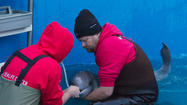 Baby Beluga Separated From Mom, Rescued In Alaska