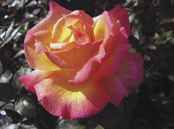 The rose Sheilas Perfume was grown and photographed by Dale Martin of Chambersburg, Pa., a charter member of the South Penn Area Rose Society.