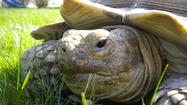 It was usually no big deal for Andy and Susan Lechner's pet tortoise, Lance, to wander and graze in their big backyard in Lombard, filling up on grass and enjoying the shade of their lilac bushes.