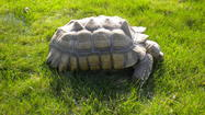 Lance, a 45-pound African spurred tortoise, wandered away from his home in Lombard last weekend. (Submitted photo)