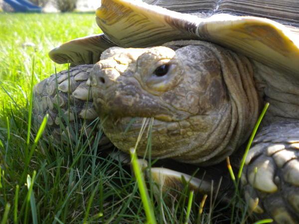 Lance the tortoise