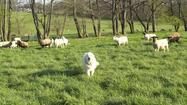 Sheeder Dog & Dorper Sheep