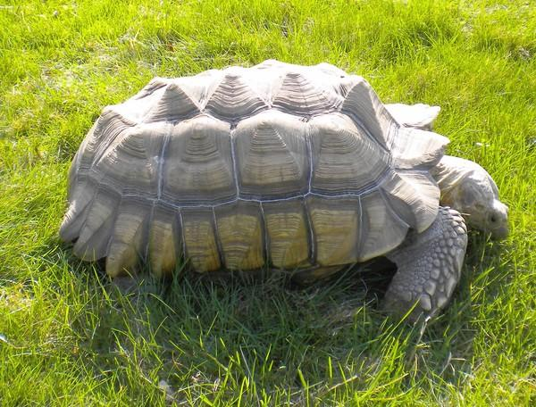 Susan and Andy Lechner, of Lombard, are looking for their 45-pound tortoise, Lance. Their pet disappeared during a barbecue Sunday.