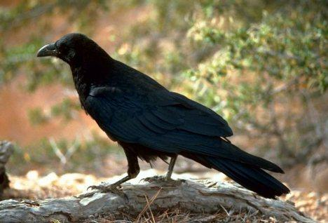 While it's hard to really say if there is an increase in crows this year in Northern Michigan, many are reporting crow problems for the first time in many years.