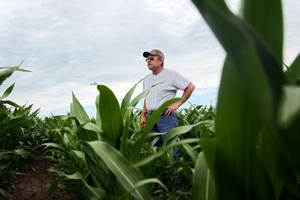 Joe White, 56, walks among cornstalks on his farm in Kaneville, Ill. White says that high temperatures and low rainfall have put stress on his corn crop.