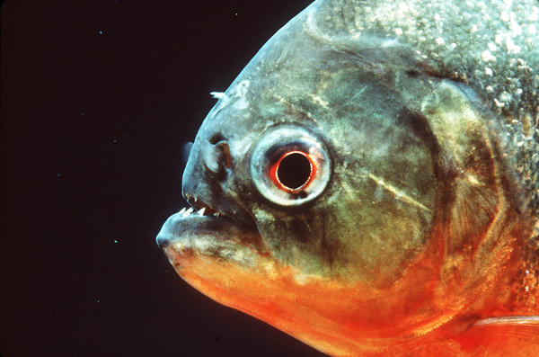 An example of a red belly piranha, shown in a 2000 photo. This was not the fish that bit the girl, and it was unknown what kind of piranha was involved.