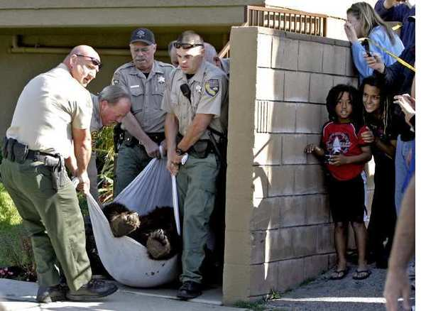 Neighbors watch as a California Black bear that weighed an estimated 300 lbs. was taken out of a backyard at 2469 Montrose Ave. in Montrose on Tuesday, April 10, 2012. After being tranquilized, the bear was taken out to The Angeles Forest by the California Fish & Game Dept. via a bear trap towed by a truck.