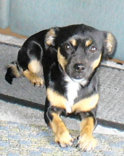 Molly, a sweet Chihuahua/miniature pinscher mix in Bethlehem, is having accidents in the house.