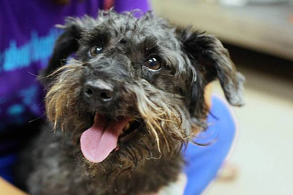 Name: Charlie Breed: schnauzer, miniature poodle mix Age: adult 2 yrs. Charlie had a home but he is now looking for a new home where he can get attention, care and love. He will need to be groomed regularly and he loves to be out and about. Charlie is ready for a loving home. /(Ed. Note: FEATURES - mc-iso-pets-0616)