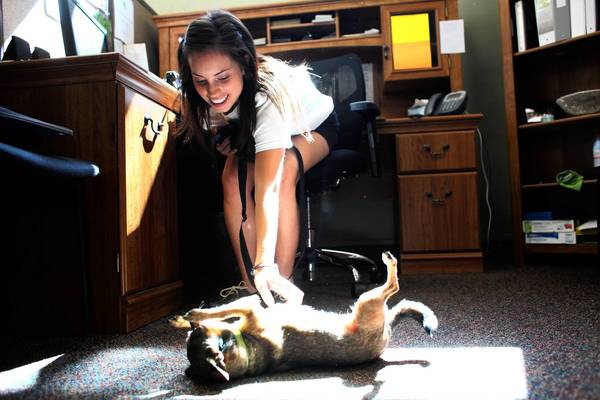 Caitlin Gath, marketing manager of the Greater Southwest Development Corp. in Chicago, brought her Chihuaua, Chicklet, to the office Friday as part of Take Your Dog to Work Day.
