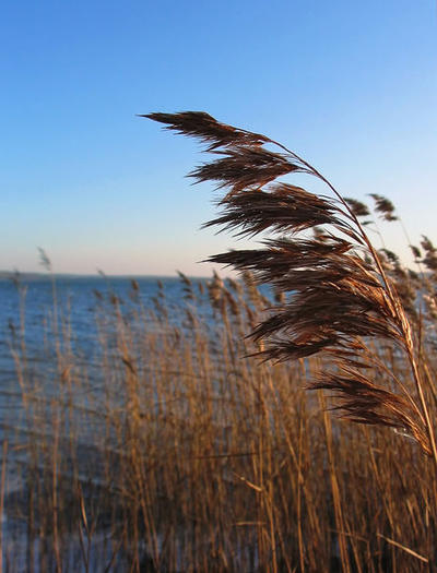 Local groups are questioning whether invasive phragmites could be spread if a new bill allowing property owners to mow their shoreline is signed by Gov. Rick Snyder.