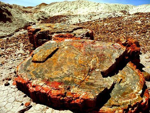 "The Petrified Forest in eastern Arizona contains the world's largest collection of petrified wood, trees whose organic matter has been replaced by minerals over millions of years. The fossils of about 78 animal species have also been found here. The park's fossil cache has been a valuable source of information for the Late Triassic period (about 225 to 205 million years ago). Aside from petrified wood, the Petrified Forest features colorful badlands and hundreds of petroglyphs. More info: <a href=""http://www.nps.gov/pefo/index.htm"">http://www.nps.gov/pefo/index.htm</a>"