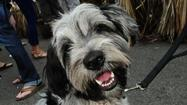 Adorable dogs at Chicago festivals